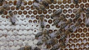 Bees convert nectar into honey and close in comb. stock video footage