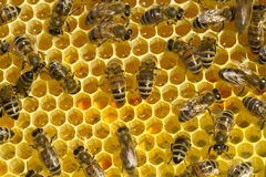 Bees convert nectar into honey Royalty Free Stock Images