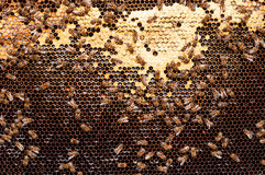 Bees convert nectar into honey and cover it in dark honeycombs Royalty Free Stock Photo