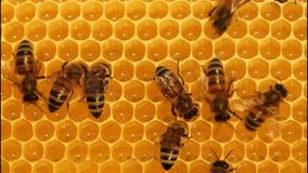 Bees convert nectar into honey stock video