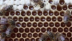 Bees convert nectar into honey stock video