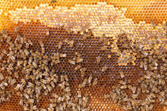 Bees convert nectar into honey and cover it in honeycombs Royalty Free Stock Photography