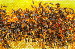 Bees convert nectar into honey and cover it in honeycombs Royalty Free Stock Image