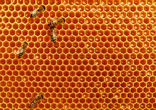 Bees convert nectar into honey and cover it in honeycombs Stock Image