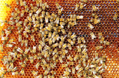 Bees convert nectar into honey and cover it in honeycombs Stock Photography