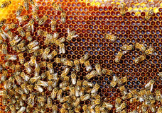 Bees convert nectar into honey and cover it in honeycombs Royalty Free Stock Photo