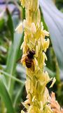 Bees in corn fields Royalty Free Stock Photos