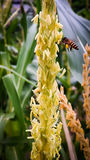 Bees in corn fields Stock Photo