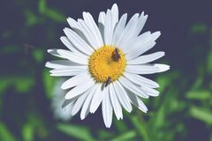 Bees on daisy flower Stock Images