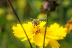 Bees Dancing In Flowers Royalty Free Stock Images
