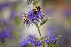 Bees on dark knight bluebeard Stock Photos