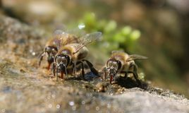 Bees, Drink, Water, Nature, Macro Stock Images