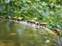 Bees Drinking. Bees gathering on the rim of a fountain Royalty Free Stock Image