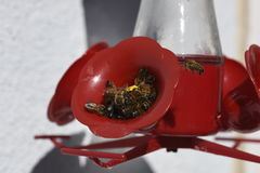 Bees drinking sugar water in feeder Royalty Free Stock Photos