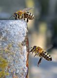 Bees drinking water and flying royalty free stock images