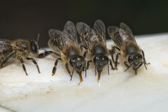 Bees while drinking water Stock Photos