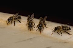 Bees while drinking water Stock Images