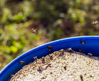 Bees are drinking water Stock Photo