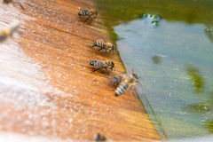 Bees drinking water at the summer. Royalty Free Stock Image