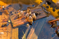 Bees drinking water in the summer. Busy bees, close up view of the working bees. Bees close up showing some animals drinking water royalty free stock image