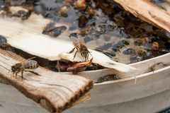 Bees drinking water in the summer. Busy bees, close up view of the working bees. Bees close up showing some animals drinking water stock photo