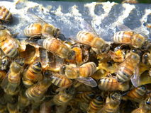 Bees eating pollen. Bees eat and salvage an exposed pollen cell Royalty Free Stock Image