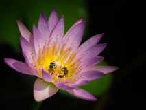 The bees are eating the pollen. Two bees are eating the delicious pollen in a lotus flower Stock Image