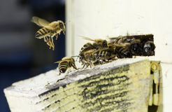 Bees entering the hive. White beehive Stock Photos