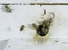Bees entering the hive Royalty Free Stock Image