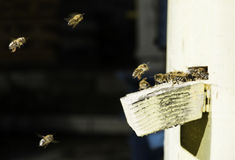 Bees entering the hive Royalty Free Stock Photo