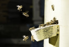 Bees entering the hive Stock Image
