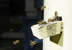 Bees entering the hive Royalty Free Stock Photos