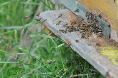 BEES Royalty Free Stock Image