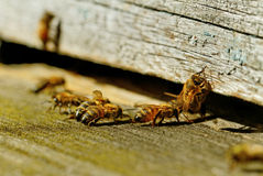 Bees at the entrance. Stock Photography