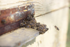 Bees at the entrance of  beehive. Bees at the entrance of a beehive Royalty Free Stock Images