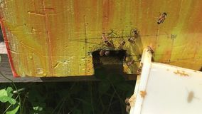 Bees at the entrance of the hive stock video footage