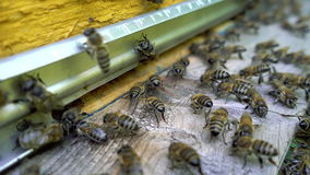 Bees at the entrance to the hive. stock footage