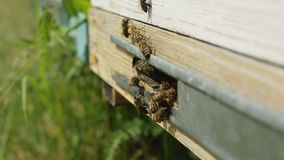 Bees on the entrance to the hive during stock footage