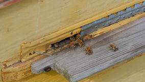 Bees at the entrance to the hive closeup stock footage