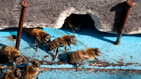 Bees at the entrance to the hive stock footage