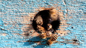 Bees at the entrance to the hive stock video