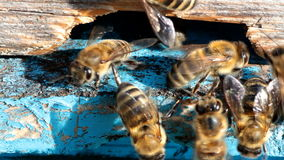 Bees at the entrance to the hive stock video footage