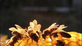 Bees in evening Stock Photography