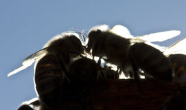 Bees in evening rays of sun Royalty Free Stock Images