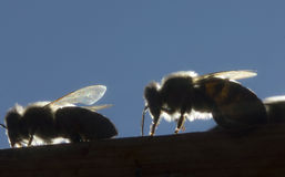 Bees in evening rays of sun Stock Photo