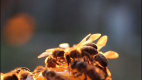 Bees in evening stock video