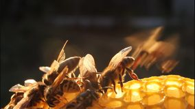 Bees in evening stock footage