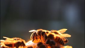 Bees in evening stock video footage