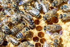 Bees in the evidence on the combs eating honey stock images