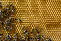 Bees fed and warmed to the young larvae honeycomb. Apiculture. Royalty Free Stock Images
